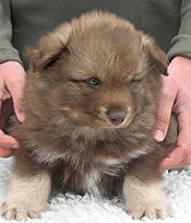 Brown wolf sable Finnish Lapphund puppy, puppy learning to sit, fluffy and cute, blue eyes