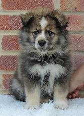 Serious looking wolf sable and white cute and fluffy Finnish Lapphund puppy in the UK, 7 weeks old, sitting on white fake fur with red brick background