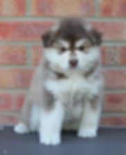 Brown domino grizzle Finnish Lapphund male puppy dog at 6 weeks old, sitting on a grooming table with a red brick background.  Sire Terhakan Jallat, Finnish import, dam Infindigo Juhla Kaija.