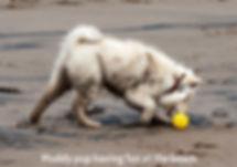 Muddy cream Finnish Lapphund puppy at the beach