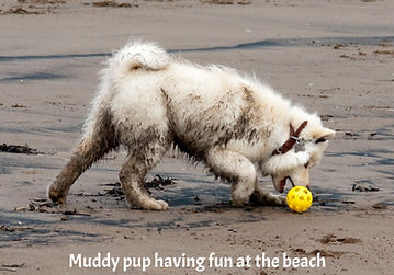 Muddy cream Finnish Lapphund puppy at the beach