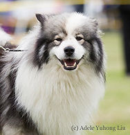 Finnish import, Finnish and Norway Champion Shacal Tiltaltti, wolf sable and white Finnish Lapponian Dog, Finnish Lapphund males for breeding