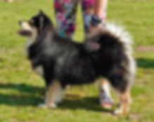 6-year-old Finnish Lapphund dog in show stand.jpg