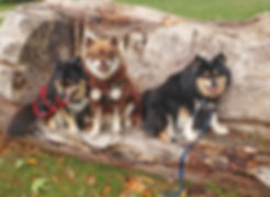 3 Finnish Lapphunds sitting on a dead tree log with autumn leaves in the foreground
