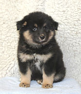 Black and tan Finnish Lapphund puppy bitch