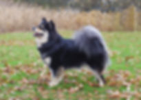 Finnish Lapphund show stand on autumn leaves
