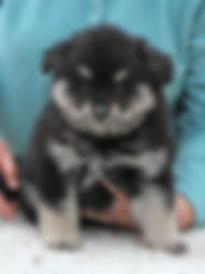 Finnish Lapphund puppy uk, south west, puppies southwest
