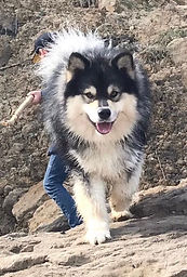 Wolf sable Finnish Lapphund dog sire Multi Champion Petäjämaan Viksu dam Finnish Champion Shacal Joutava