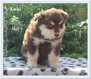 Brown tan and white Finnish Lapphund puppy dog sitting on a box in the sun.  Sire Lecibsin Salo of TabanyaRuu, dam Infindigo Riemu Emmi.
