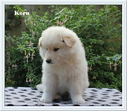 Cute fluffy cream Finnish Lapphund puppy dog