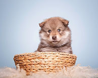 Brown wolf sable Lapponia Finnish Lapphund puppy