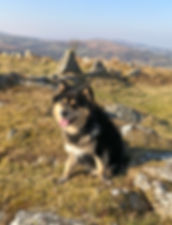 Black tan and white Finnish Lapphund male dog walk on Dartmoor blue sky and sunshine in Devon countryside