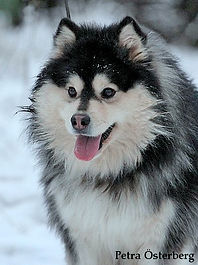 Domino Finnish Lapphund dog, black and white fluffy dog, imported from Finland