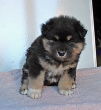 Black tan and white Finnish Lapphund puppy, white paws, sire Champion Happy Lapp Dumbo, Arvo, dam Black Blossom Troll Fia, Swedish import