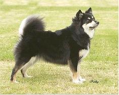 Elbereth Finnish Lapphund, Elbereth Onnekas, Neka, black tricolour, show stand, Farlap photography, Devon County Show, dog show