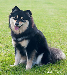 Black tan and white Finnish Lapphund bitch sitting on the grass smiling sire UK Champion Lecibsin Salo of TabanyaRuu Junior Warrant Show Certificate of Merit dam Infindigo Riemu Emmi ShCM