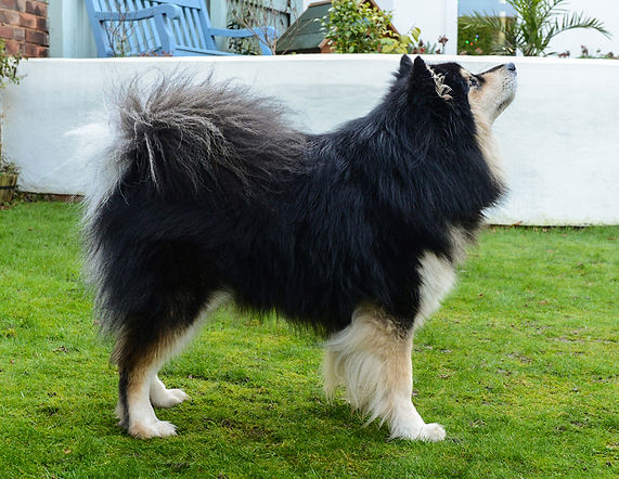 Black tan & white male Finnish Lapphund available for breeding