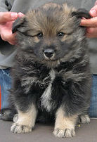 Wolf sable Finnish Lappund puppy, don't look so worried, cute and fluffy, snowshoes