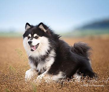 Black & white Finnish Lapphund dog running in a brown field