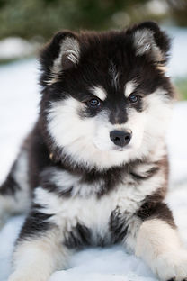 Beautiful black and white Finnish Lapphund puppy 13 weeks old
