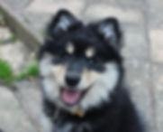 2 month old smiling Finnish Lappund puppy