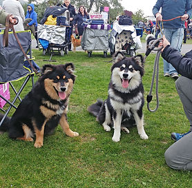 Two 6-month-old Finnish Lapphund puppies at WELKS championship dog show