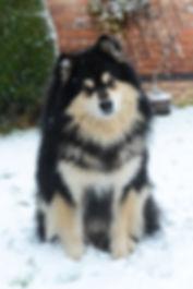 Finnish Lapphund stud dog PRA Clear GSD II Clear