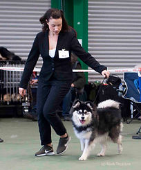 Black domino Finnish Lapphund bitch, showdog wth Amy in a black suit, FinnishLapphund Club of Great Britain championships show April 2018