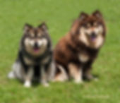 Wolf sable Finnish Lapphund bitch sire Ch Glenchess Ilolas sitting on the grass in the sun with her son, a brown dog sire Champion Lecibsin Salo of TabanyaRuu Junior Warrant Show Certifcate of Merit