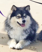 Finnish Import Shacal Mihkku for TabanyaRuu, wolf sable Finnish Lapphund male, sire Multi Champion Petajamaan Viksu, dam Finnish Champion Shacal Joutava