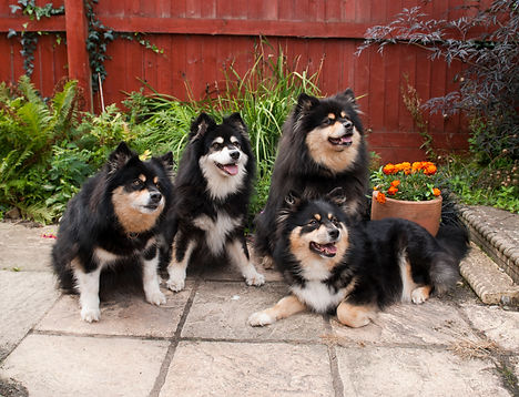Finnish Lapphund family dogs