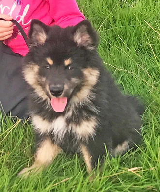 Black tricolour Finnish Lapphund puppy 12 weeks old sitting in the grass Northern Ireland