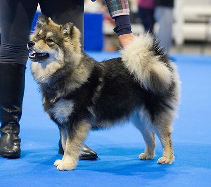Infindigo Sisko Kukka wolf sable Finnish Lapphund