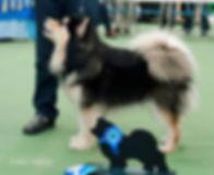 Domino Finnish Lapphund male