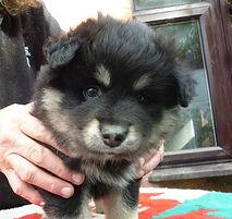 Arianrhod Finnish Lapphund puppy bitch