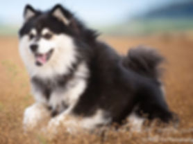 Arvo Lapphund available at stud