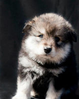 Wolf sable Finnish Lapphund puppy bitch