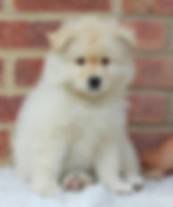 Cute fluffy white and cream Finnish Lapphund puppy with dark eyes and black nose, 7 weeks of age, called Lumi, sitting on white fake fur with red brick background