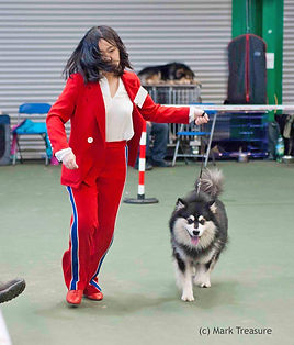 Red suit and showdog at Finnish Lapphund Club of Great Britain FLCGB championship show April 2018