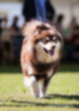 Brown Finnish Lapphund showdog on the grass at Southern Counties Championship dog show with Finnish judge, 1st Postgraduate Dog, Crufts qualified, shown by breeder, professional photograph on a sunny day