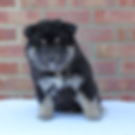 Black tan and white or black tricolor Finnish Lapphund puppy 6 weeks old sitting on a table with a red brick background