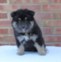 Black tan and white Finnish Lapphund puppy bitch, 6 weeks old, sitting on a white blanket with a red brick background.