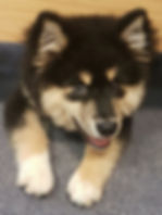 Cheeky smiling Finnish Lapphund puppy 16 weeks old