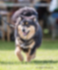 Black and tan Finnish Lapphund bitch Southern Counties championship dog show