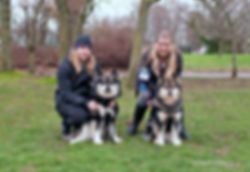 Wolf sable Finnish Lapphund male and his dam, wolf sable female.jpg