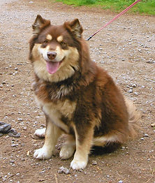 Brown tan & white Finnish Lapphund bitch on a walk in the woods
