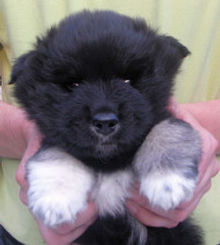 Diesel as a 5-week-old puppy Finnish Lapponian Dog.jpg