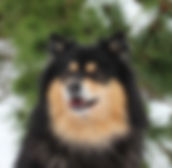 Elbereth Keskiyo foBlack and tan Finnish Infindigo, Show Certificate of Merit, black and tan Finnish Lapphund male in the snow with pine trees in the background