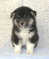 Black tan and white Finnish Lapphund puppy bitch with white legs