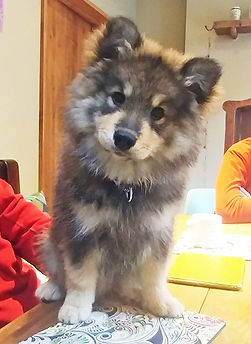 Wolf baby Finnish Lapphund wolf sable puppy sitting on table 12 weeks old